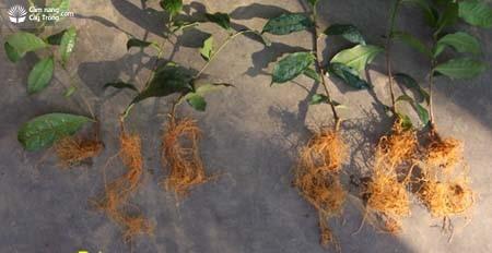 Bộ rễ cây chè